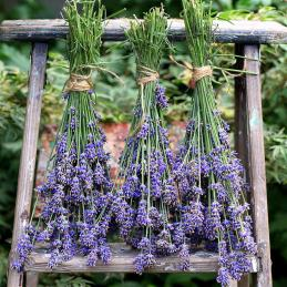 Drying-English-Lavender-square3-Medium